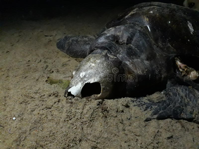 Dead turtle with open skull..... royalty free stock images