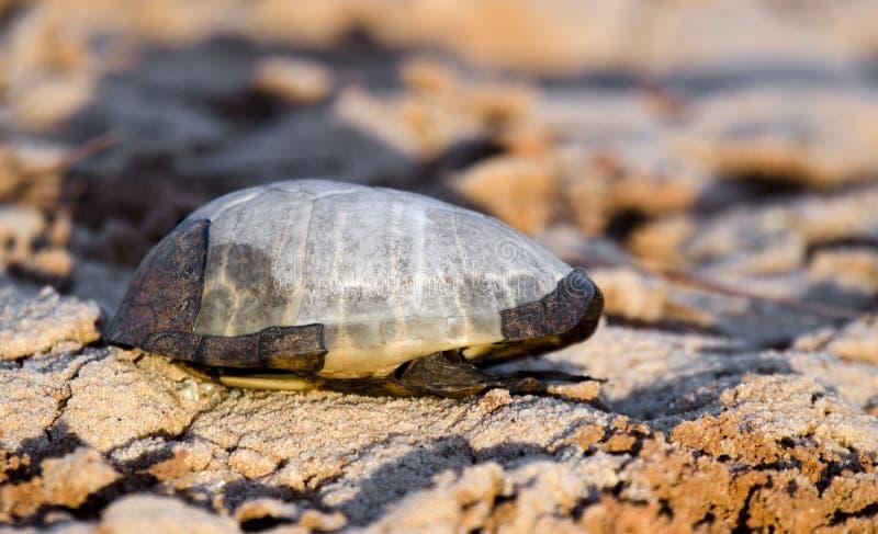 Turtle shell skeleton on beach, Athens, Georgia royalty free stock image