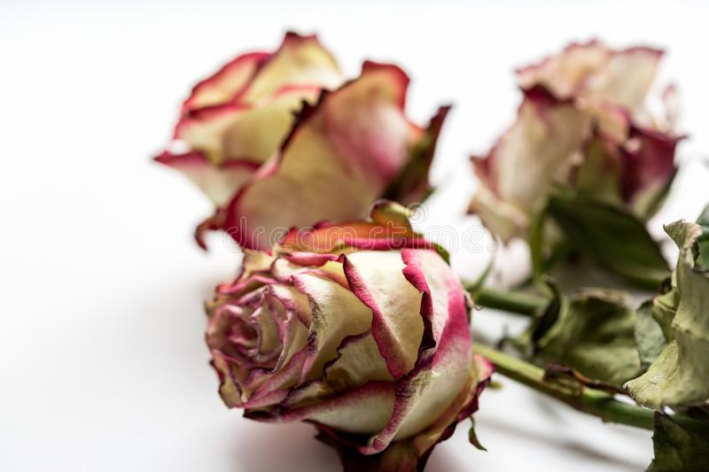 Dead ugly roses on the white background. Close up image royalty free stock image