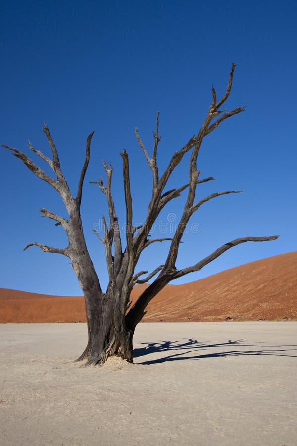 Dead Vlei - Namib-nuakluft Desert - Namibia royalty free stock photo