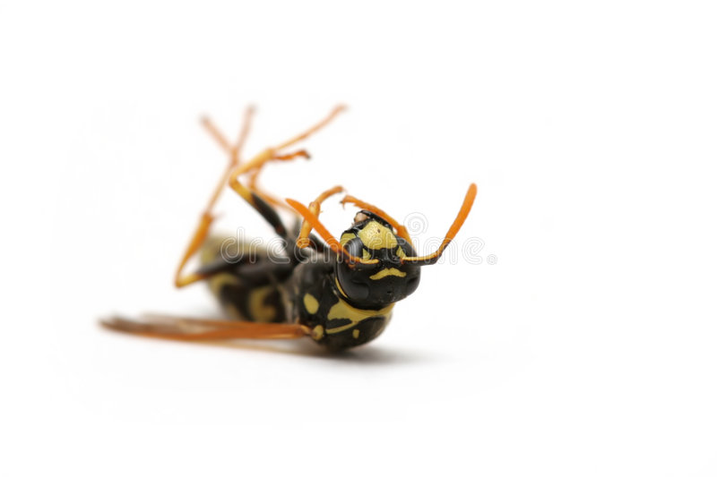Dead wasp royalty free stock photography