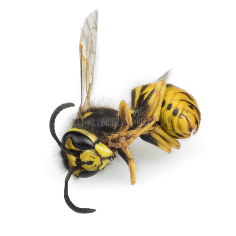 Dead wasp royalty free stock photos