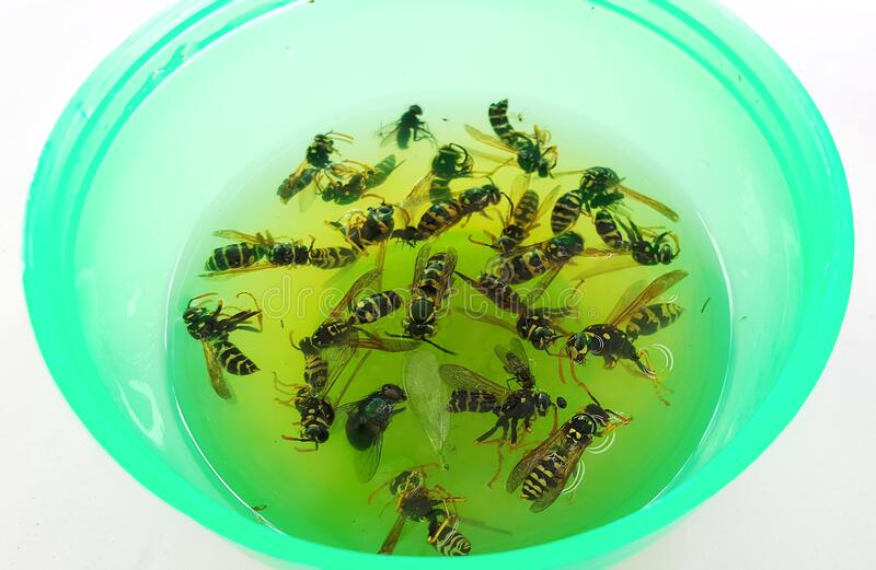 Dead wasps in trap royalty free stock photo