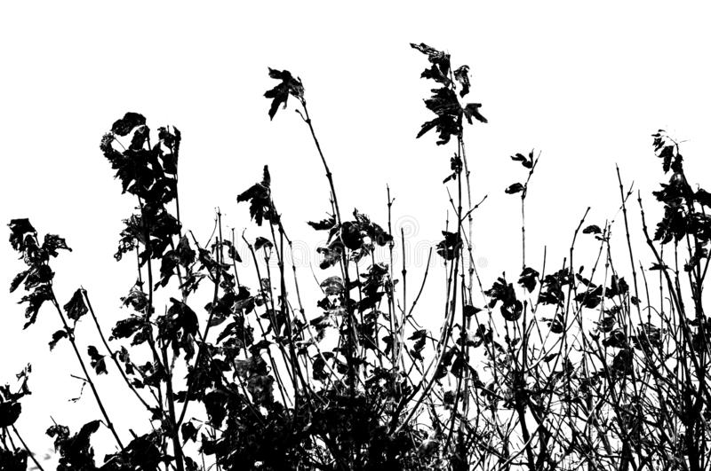 Dead weeds and flowers silhouetted against white royalty free stock photos