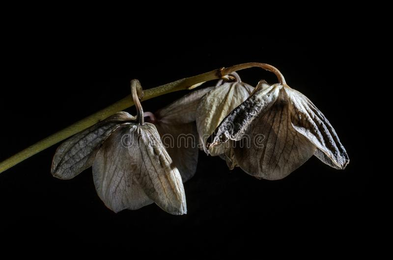 Dead withered orchid flowers isolated on dark background.  stock image