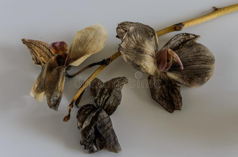 Dead withered orchid flowers isolated on white background.  stock images
