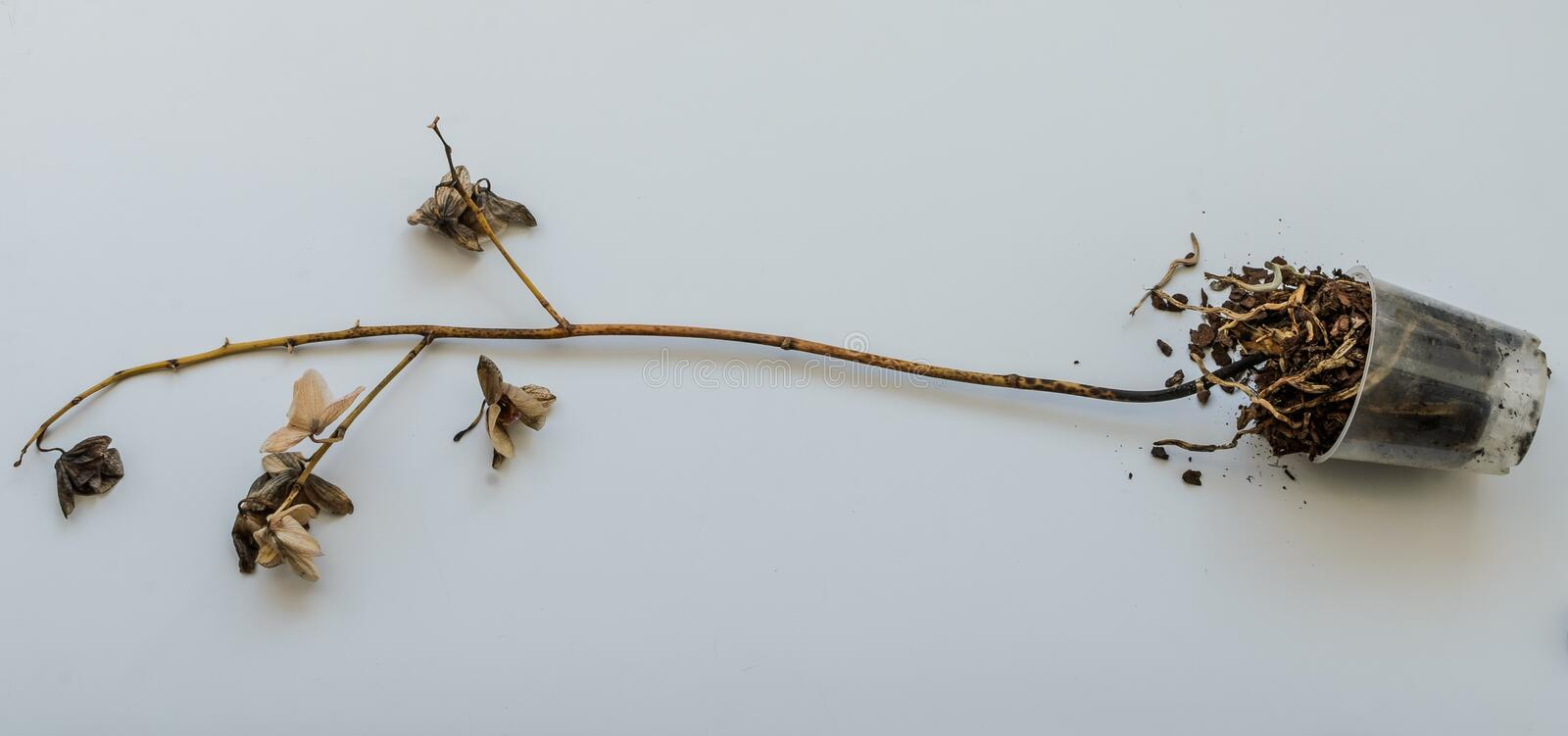 Dead withered orchid flowers isolated on white background.  stock image