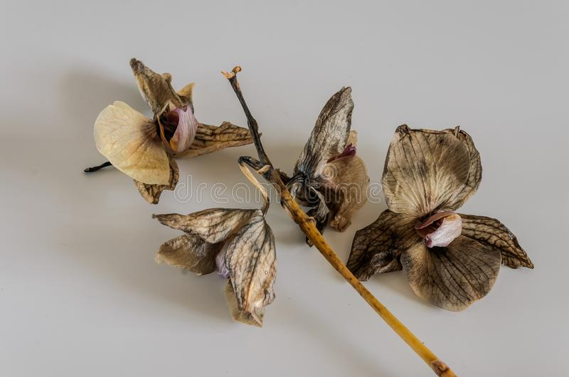 Dead withered orchid flowers isolated on white background.  royalty free stock photography