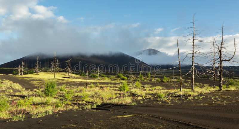 Dead wood - a consequence of a catastrophic release of ash during the eruption of the volcano in 1975 Tolbachik north. Breakthrough - Kamchatka stock images