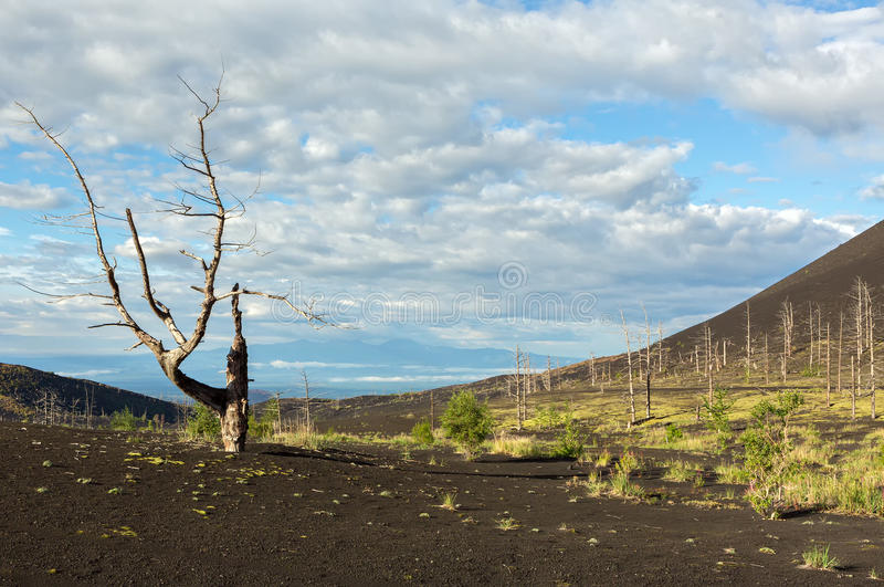 Dead wood - a consequence of a catastrophic release of ash during the eruption of the volcano in 1975 Tolbachik north. Breakthrough - Kamchatka royalty free stock images