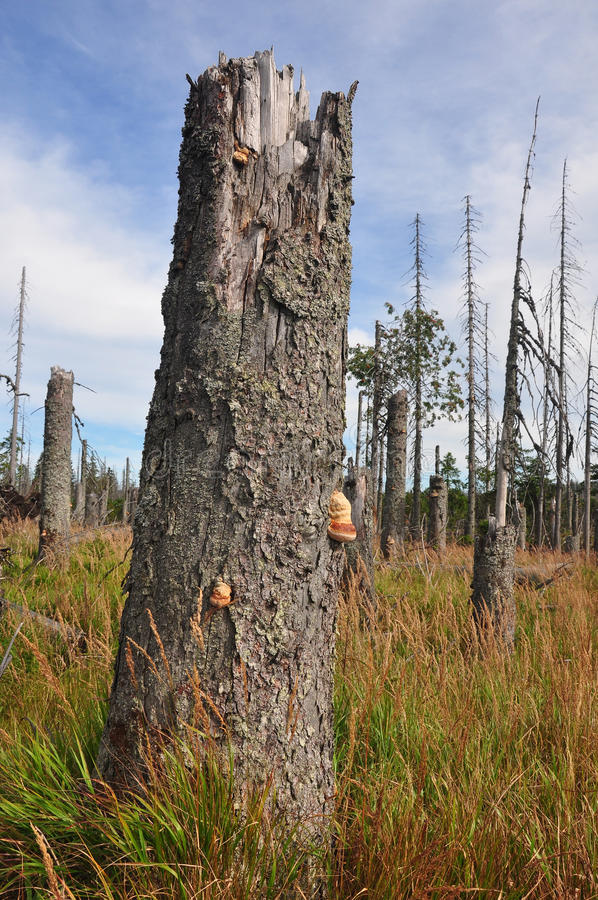 Dead wood in national park Bavarian Forest royalty free stock photography