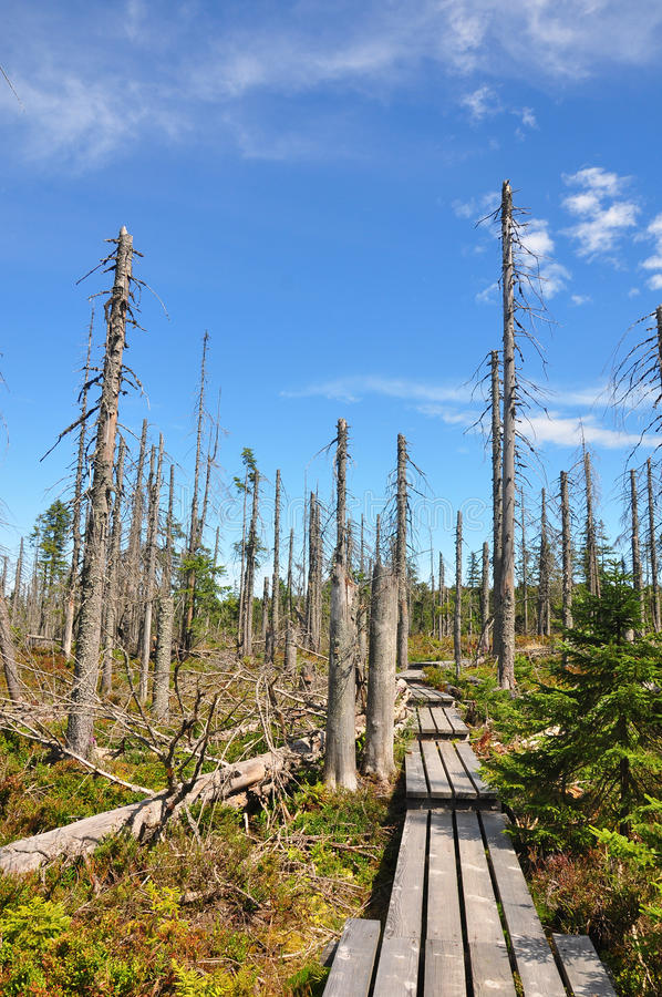 Dead wood in national park Bavarian Forest royalty free stock photo