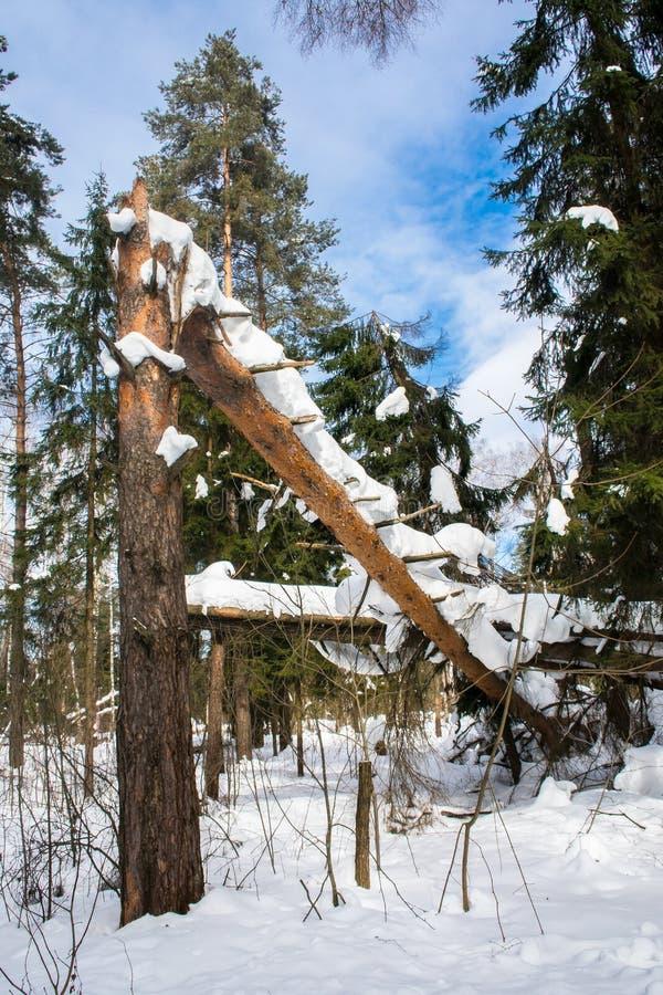 Deadfall Mroźny pogodny zima dzień w zwartym drewnie fotografia stock