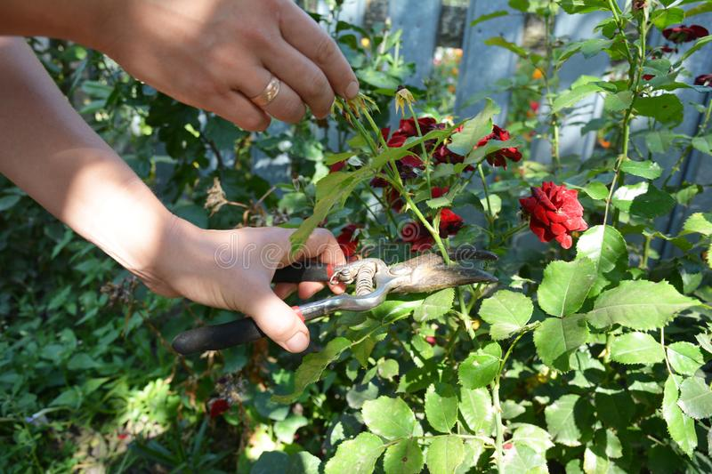 Deadheading roses. Deadheading is one of the easiest forms of pruning. Photo stock photo