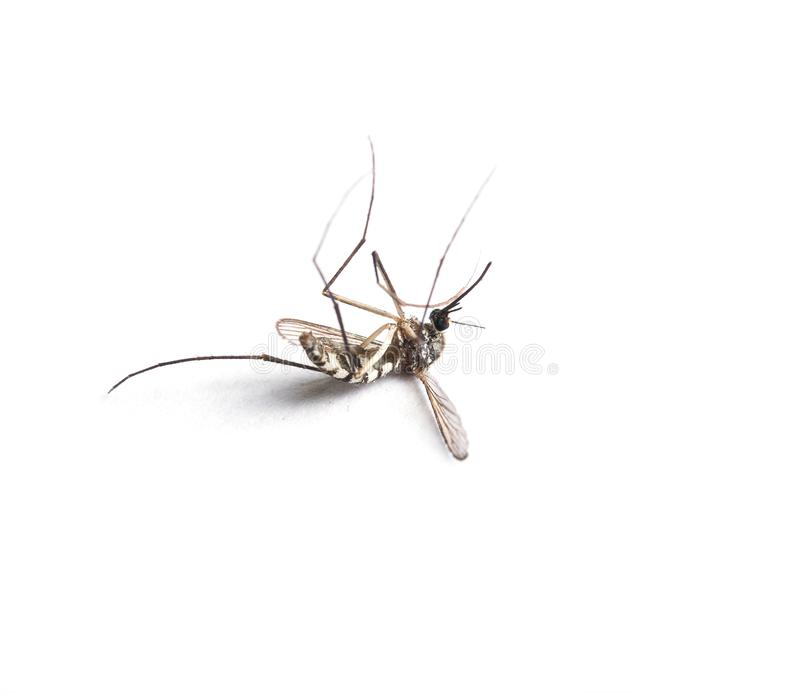 Mosquito isolated on white background. royalty free stock images