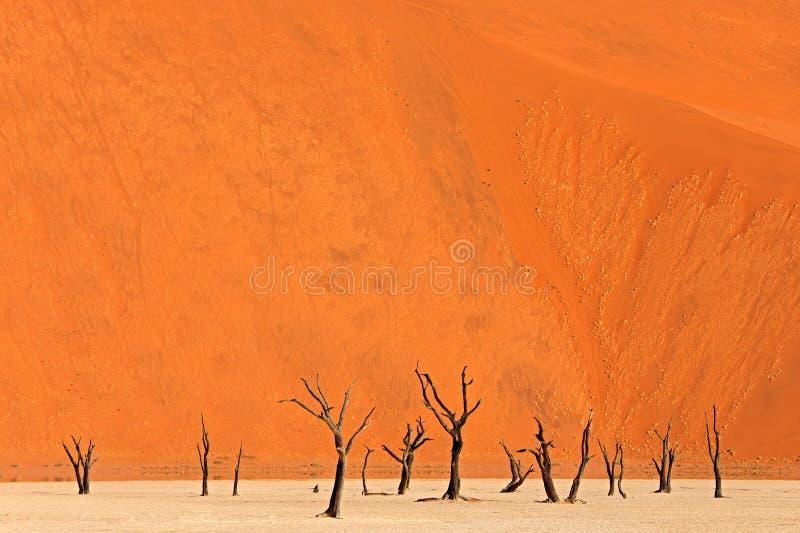 Deadvlei, оранжевая дюна со старым деревом акации Африканский ландшафт от Sossusvlei, пустыни Namib, Намибии, Южная Африка Красны стоковая фотография rf