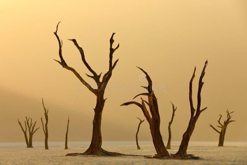 Deadvlei, duna anaranjada con el árbol viejo del acacia Paisaje africano de Sossusvlei, desierto de Namib, Namibia, África meridi fotos de archivo