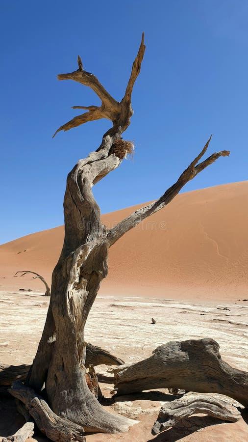 Deadvlei, Namíbia imagens de stock royalty free