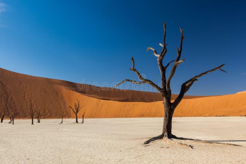Deadvlei träd arkivbilder
