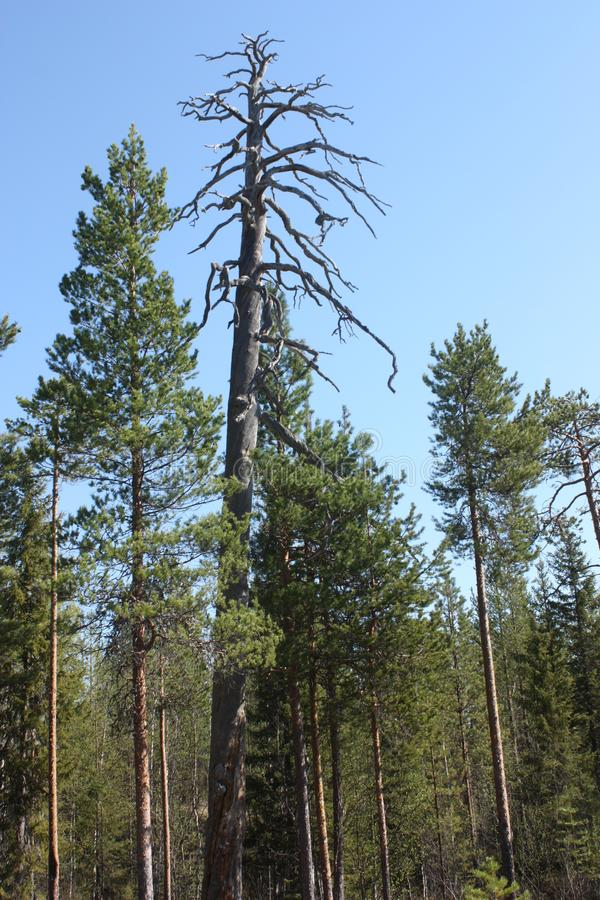deadwood Árvore secada na floresta foto de stock royalty free
