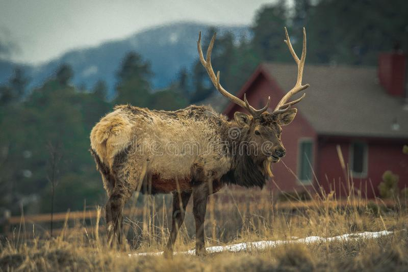 Dear in estes park colorado. Animals/Wildlife winter time and cold n stock images