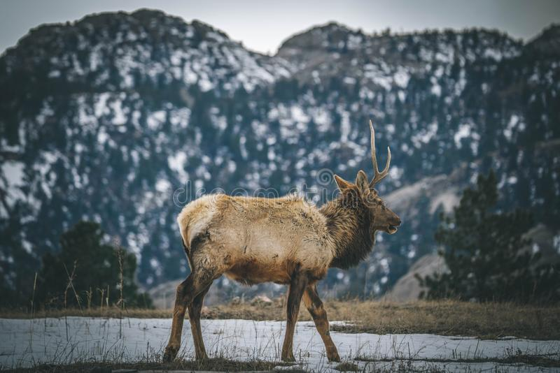 Dear in estes park colorado. Animals/Wildlife winter time and cold n stock photo