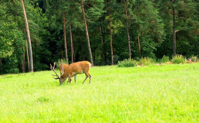 Download Dears stock photo. Image of deer, grass, male, buck, animal - 25825004