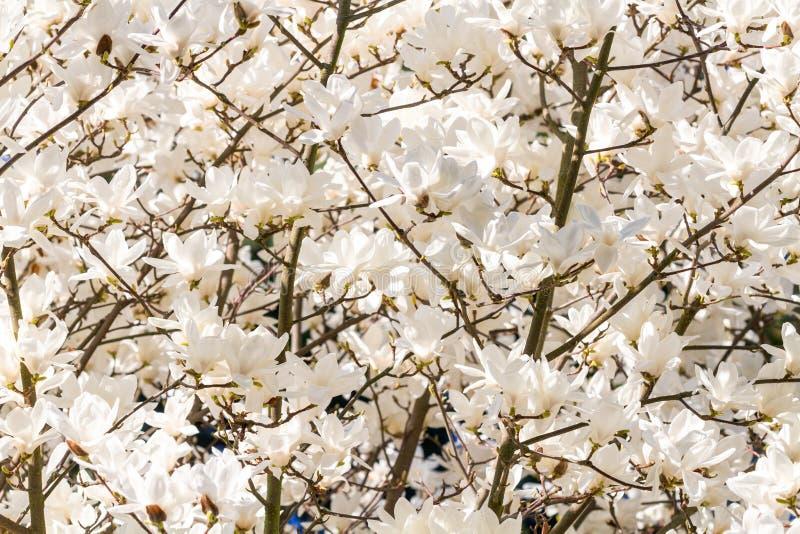 Deatail av magnolian för y Yulan arkivfoton