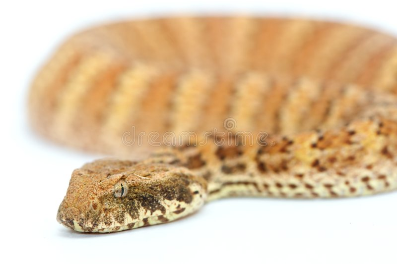 Death Adder isolated on White. Background stock photography