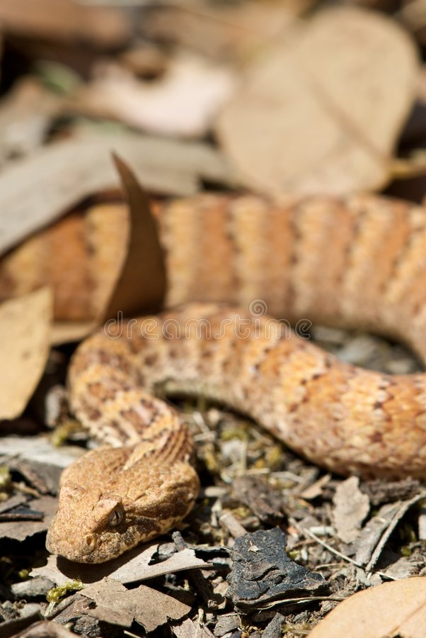 Death Adder sitting in leaves. Death Adder sitting in outdoor environment royalty free stock photo