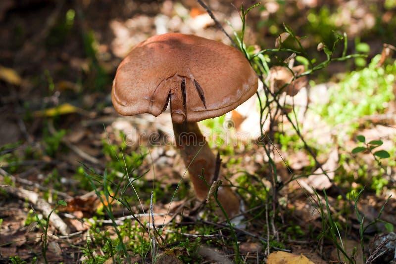 Download Death Cap stock photo. Image of poison, mushroom, fungi - 20958046
