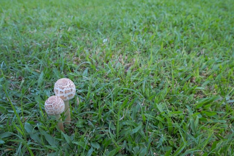 Death cap or Amanita phalloides stock images