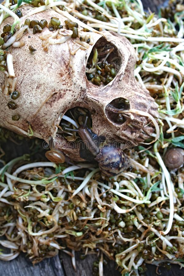 Death skull human with big snail crawl on face and rot bean sprouts some foul smelly. royalty free stock photography