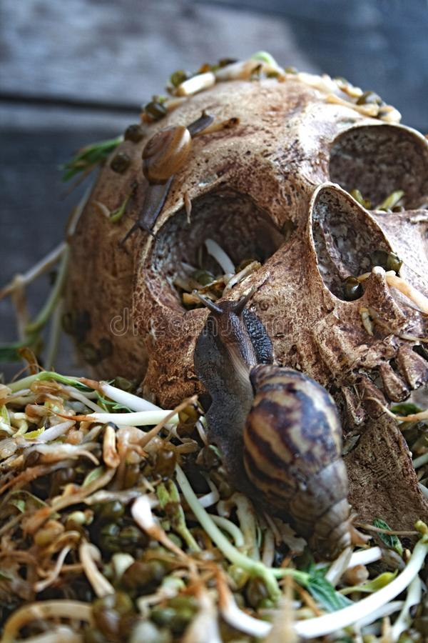 Death skull human with big snail crawl on face and rot bean sprouts some foul smelly. stock images