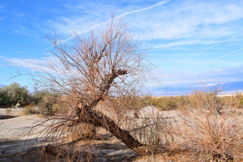 Death Valley Alberi morti immagine stock