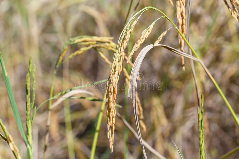 Deatil риса шипа стоковые фото