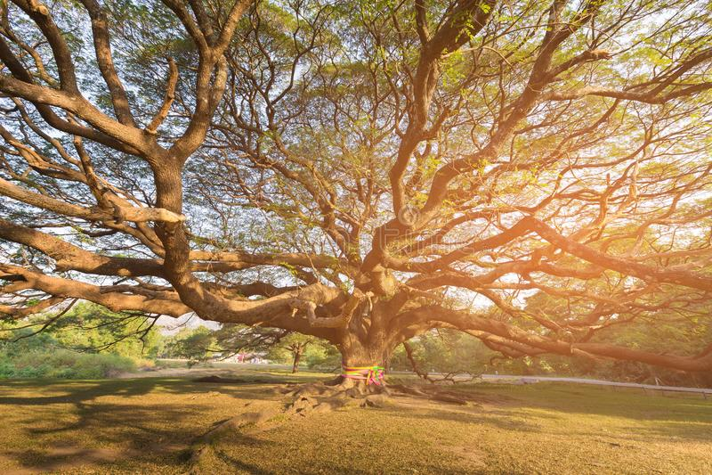 Debajo de árbol gigante con efecto luminoso del sol imagen de archivo