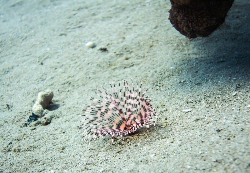 Debajo de gusanos del agua Vida marina colorida en el Mar Rojo, Egipto, Dahab imagen de archivo