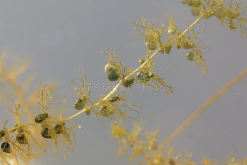 Debajo de las hojas del agua con vejiga-como las trampas de un mayor bladderwort, Utricularia vulgaris imagen de archivo