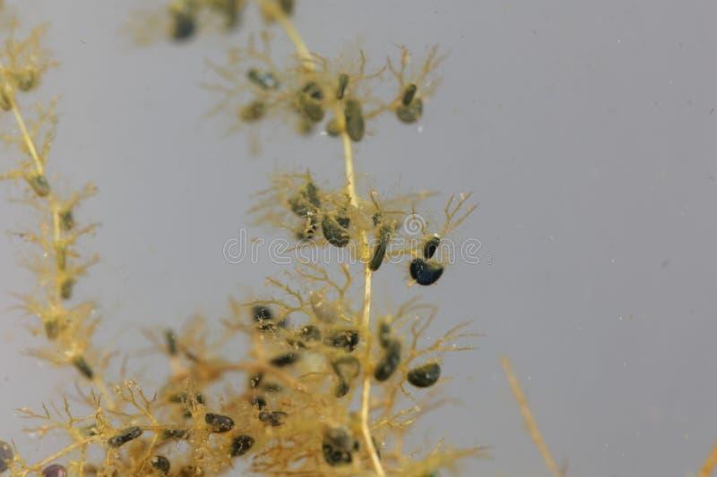 Debajo de las hojas del agua con vejiga-como las trampas de un mayor bladderwort, Utricularia vulgaris imágenes de archivo libres de regalías