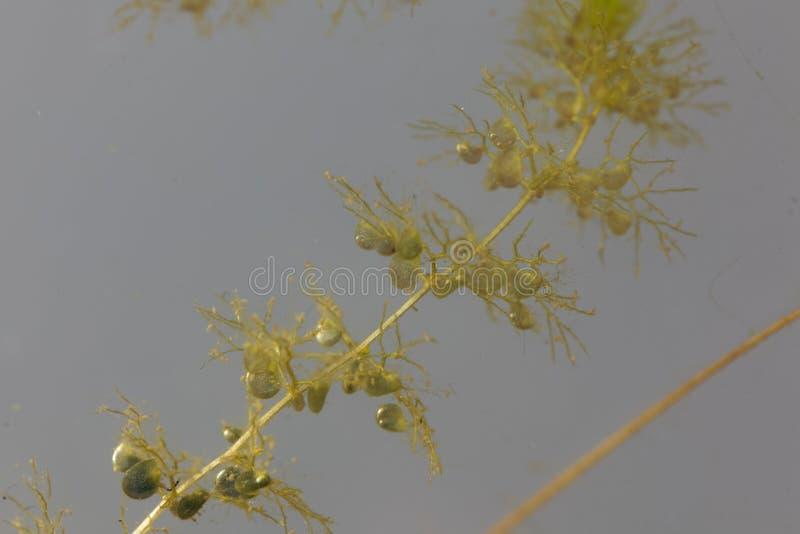 Debajo de las hojas del agua con vejiga-como las trampas de un mayor bladderwort, Utricularia vulgaris imagen de archivo libre de regalías