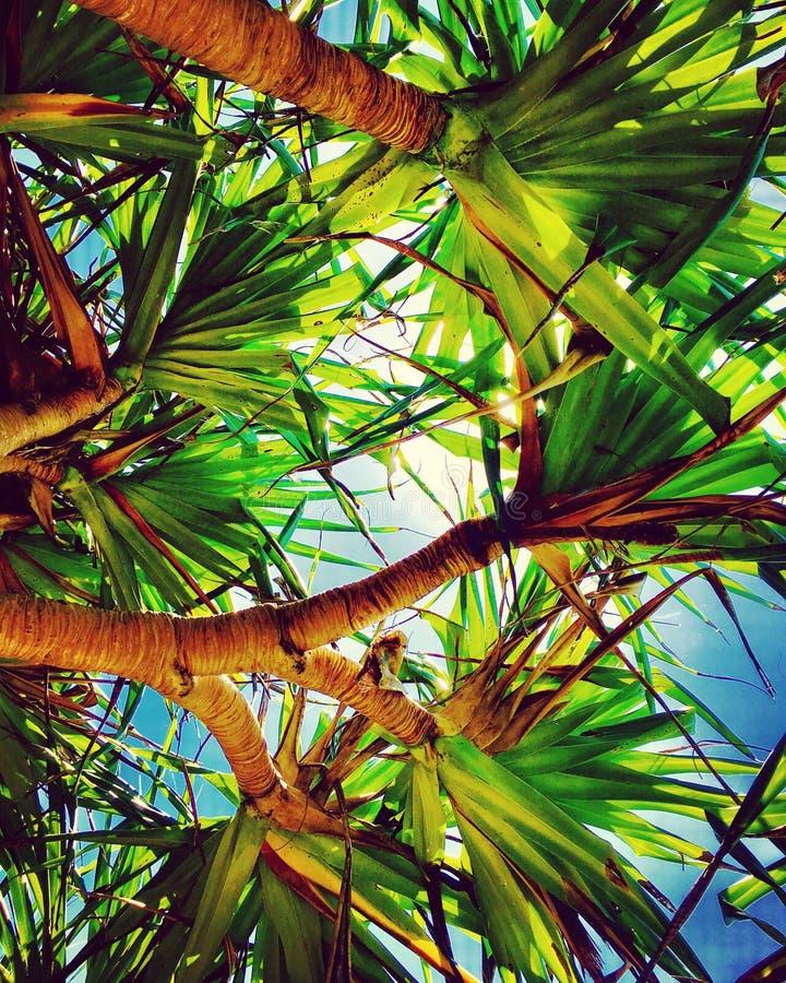Debajo de los árboles del pandanus foto de archivo libre de regalías