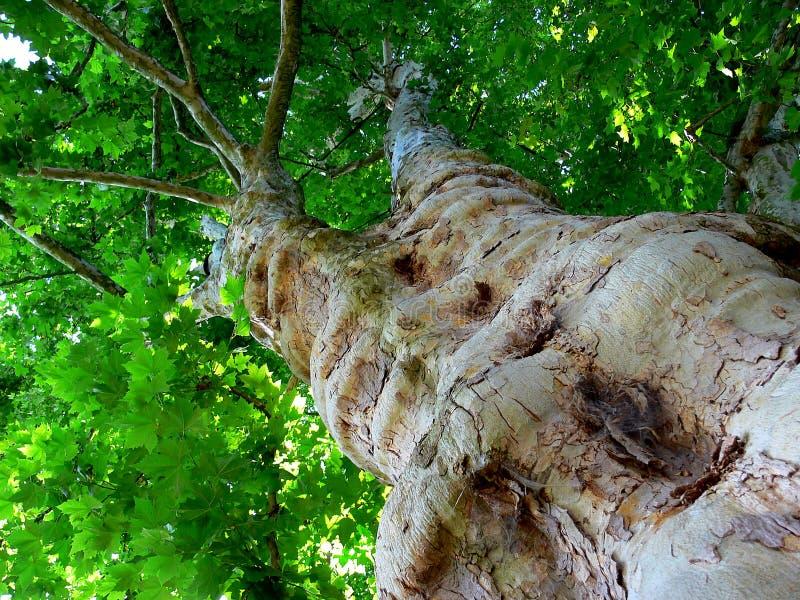 Debajo de un árbol plano enorme con el tejado frondoso verde fotos de archivo