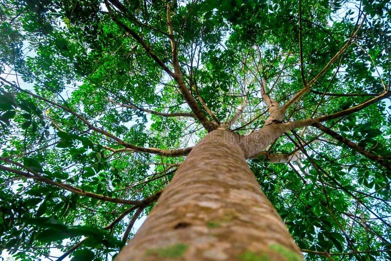 Debajo del árbol de goma con las hojas verdes imagen de archivo