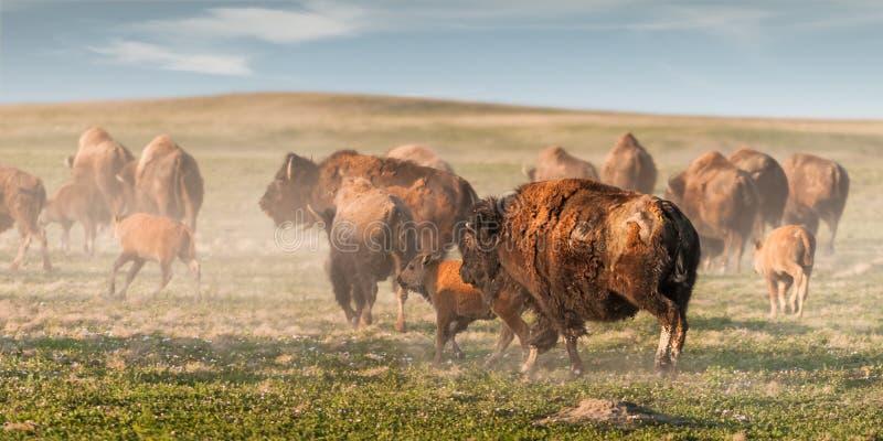Debandada do bisonte americano (bisonte do bisonte) fotos de stock royalty free