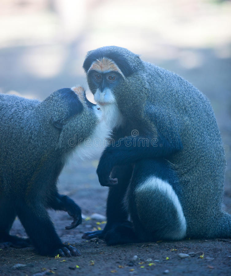 DeBrazza's monkey. The two monkeys like the old man.They are in the chat stock photography