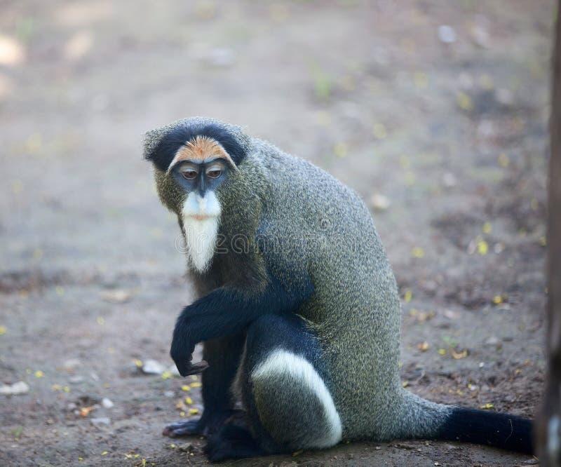 DeBrazza's monkey. The monkey like the old man royalty free stock photos