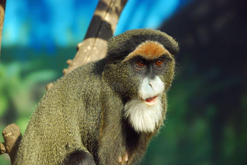 DeBrazza's monkey. Looks like a old man stock photos