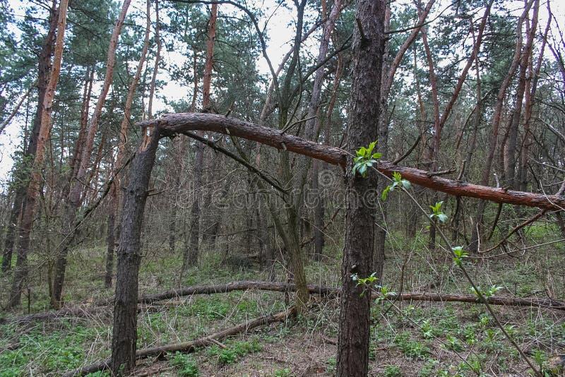 Debrowski a floresta fotos de stock