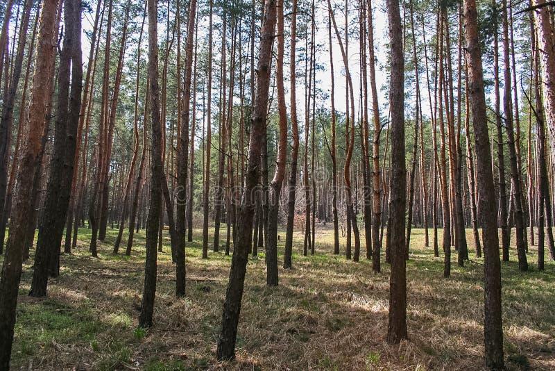 Debrowski a floresta imagens de stock royalty free